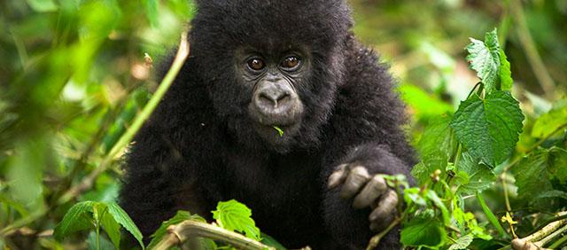 gorilla tour safari