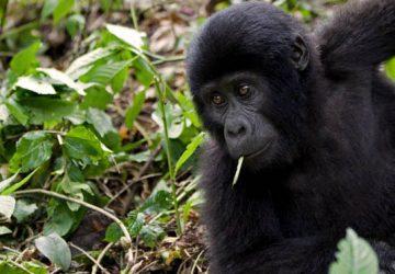 How to get a Free Gorilla Permit in Rwanda