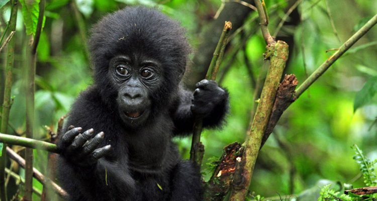 14 Days Best of Rwanda Safari