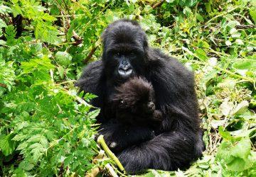 2 Day Rwanda Gorilla Tour