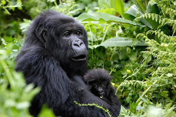 2 Days Uganda Gorilla Safari from Kigali