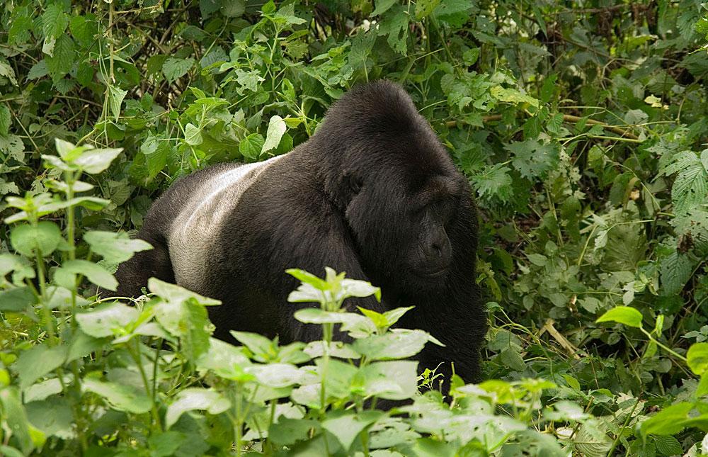 3 Days Bwindi Gorilla Trek Bwindi Gorilla Trekking Safari