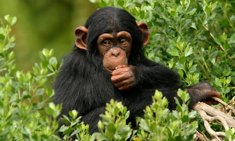 3 Days Ngamba Island Chimpanzee Excursion