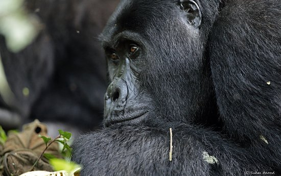 Gorilla in Buhoma Sector of Bwindi Impenetrable National Park