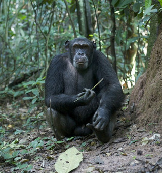 Congo Chimpanzee tracking safaris