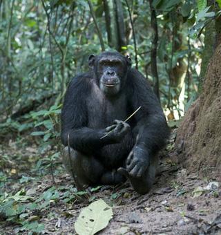 Congo Chimpanzee tracking safaris