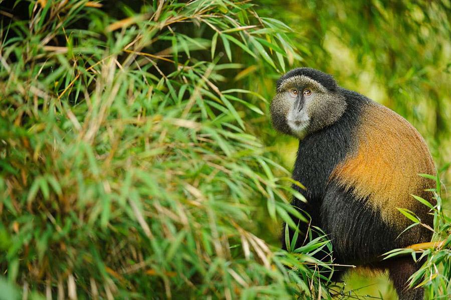 4 Days Gorillas & Golden Monkey Trek