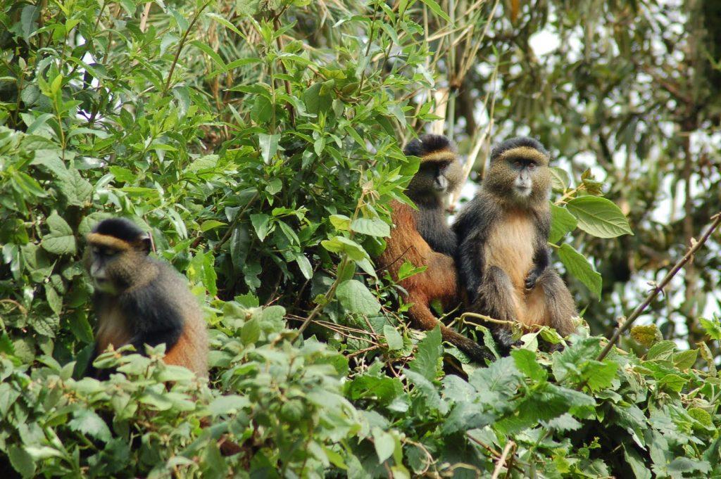 golden-monkeys in Mgahinga