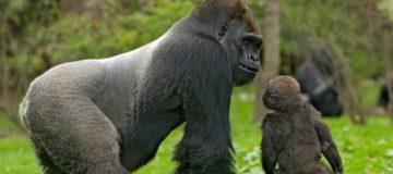 Lowland Gorilla Tour in Congo