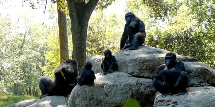 1 Day Lowland Gorilla Tracking