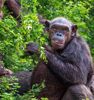 Rwanda Chimpanzee tracking safaris