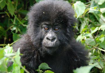 5 Days Rwanda and Uganda Gorilla Trek