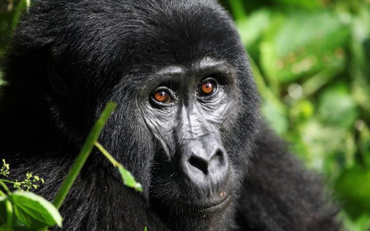 5 Days Rwanda and Congo Gorilla Tour