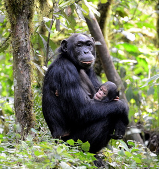 Uganda Chimpanzee tracking safaris