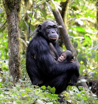 Uganda Chimpanzee tracking safaris
