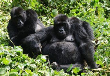 5 Days Mountain Gorillas, Lowland Gorillas & Dian Fossey