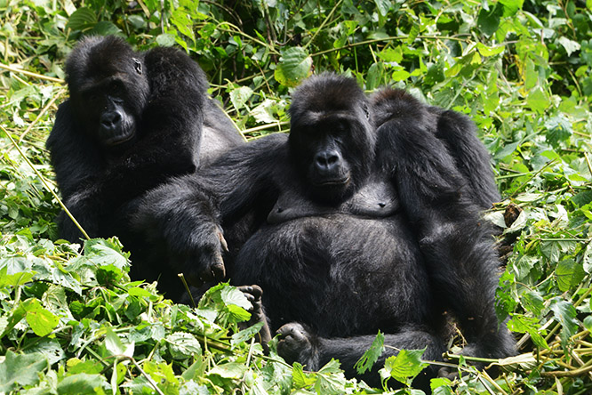5 Days Mountain Gorillas, Lowland Gorillas & Dian Fossey