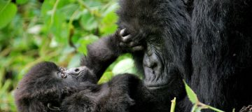 Why are gorillas poached