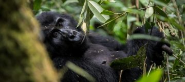 Full List of Uganda Gorilla Families in Bwindi