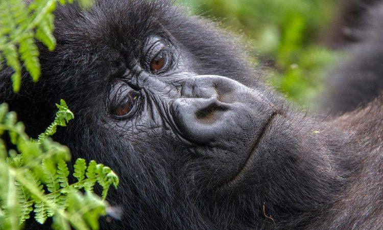 Rwanda Gorilla Families in PNV