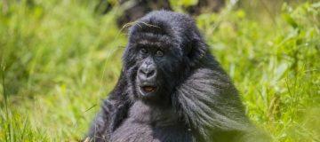 17 Days Uganda, Congo and Rwanda Combined Tour