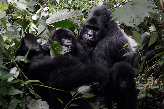 Congo Gorilla Families