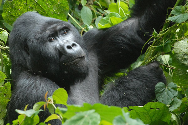 2 Days Uganda Gorilla Trekking from Kigali tour