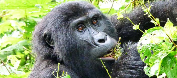 4 Days Gorilla and Chimpanzee Trekking Tour