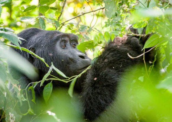 4 Days Uganda Gorilla and Rwanda Chimpanzee Trekking tour