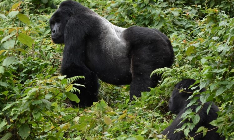 5 Days Gorilla & Wildlife Safari
