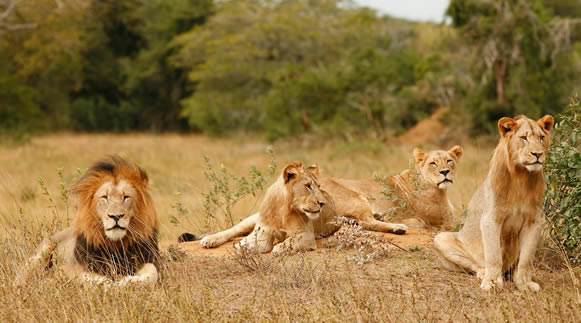 Lions in Akagera National Park