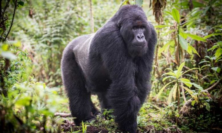 10 Facts About Gorillas
