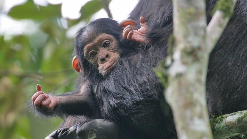 Chimpanzee Trekking in Nyungwe