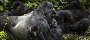 How gorilla Families work