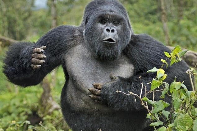 Lowland Gorillas vs Mountain Gorillas
