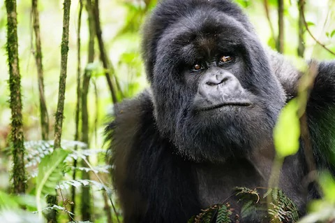 8 Facts About Virunga Gorilla Trekking