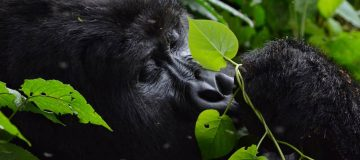 Advantages of Volcanoes Gorilla Trekking