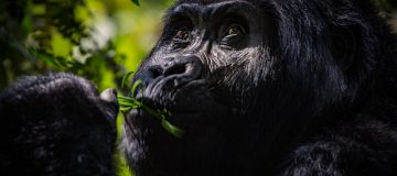 Choosing a Gorilla Destination