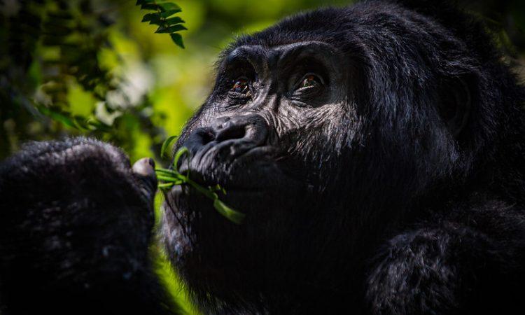 Choosing a Gorilla Destination