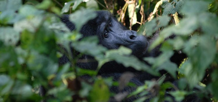 Gorilla Trekking Permits in Rwanda