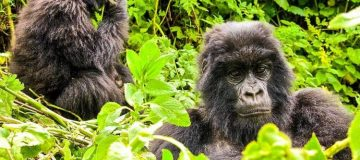 Gorilla Trekking Destinations in Africa