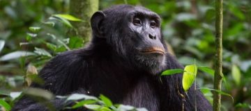 Primate Safaris in Nyungwe National Park