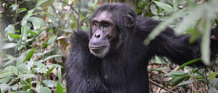 Primate Safaris in Nyungwe National Park