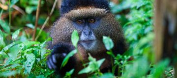 Travel Guide for Golden Monkey Trekking