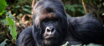 Travel Guide for Gorilla Trekking in Rwanda