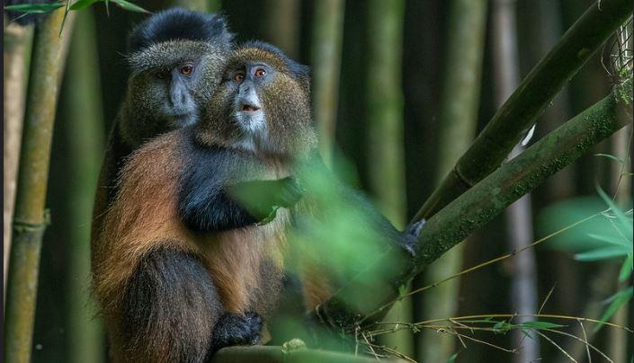 mgahinga golden monkeys