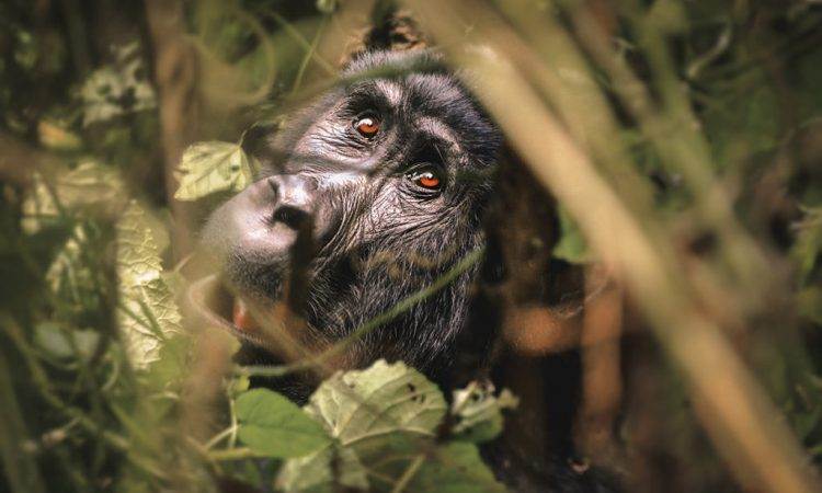Gorilla Trekking Guide in Uganda