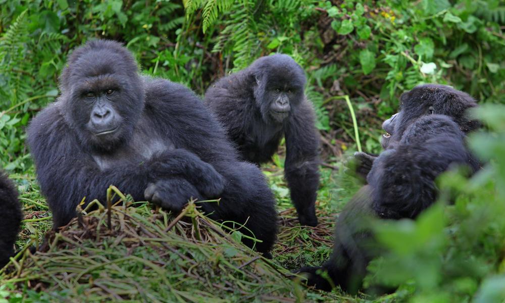 Rwanda Gorilla Families