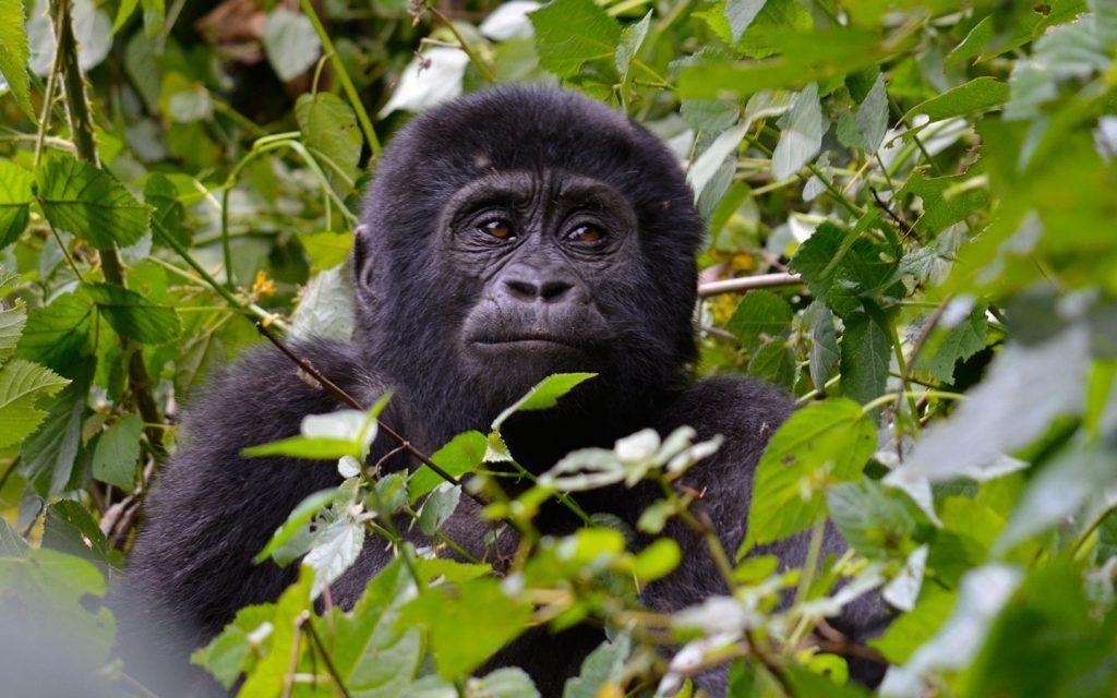 5 Mount Nyiragongo Hike & Bwindi Gorilla Trekking from Kigali