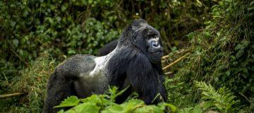 4 Days Uganda Double Gorilla Trekking from Kigali
